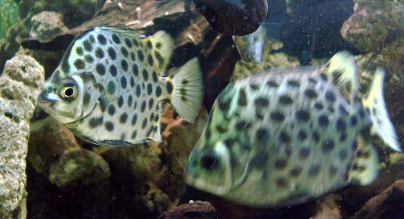 ikan kiper